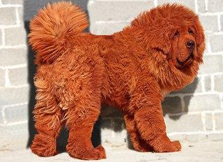 Šis Tibeto mastifas - brangiausias šuo pasaulyje.