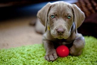 Žaislai visapusiškai lavina šuniuką.