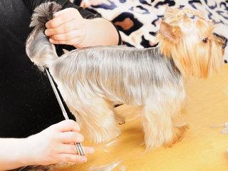 Rinkdamiesi šuniuką atkreipkite dėmesį į kailio priežiūros ypatumus.