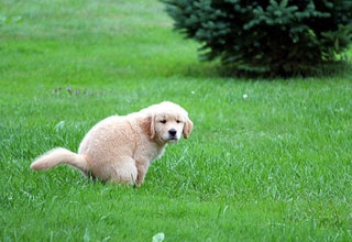 """Jei gyvenate nuosavame name ar kaime, pratinkite šuniuką """"reikalus"""" atlikti tam skirtoje vietoje arba už sklypo ribų"""