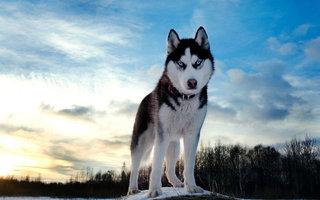 Sibiro haskio akys - nuostabios.
