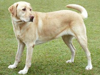 Labradoro retriveris - tikras šeimos draugas.