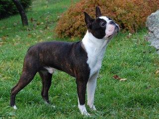 Bostono terjeras - viena iš nedaugelio šunų veislių, kuriai galima užklijuoti etiketę `Pagaminta JAV`.