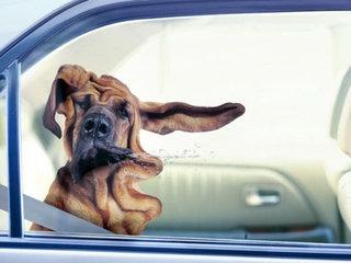 Šuo automobilyje turi būti saugus, kaip ir žmonės.