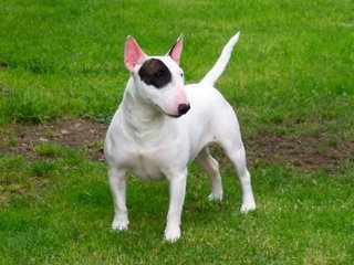 Bulterjeras - bebaimis ir energingas šuo.