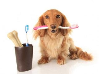Šuns dantų priežiūra - viena iš šeimininko pareigų.